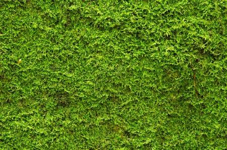 Photo pour Un fond de mousse verte - image libre de droit