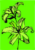 Two lilies on a green background