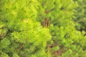 Young Green Pine Tree in Forest