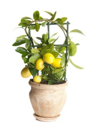 Decorative lemon tree