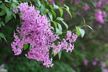 Photo pour Gros plan branche de lilas - image libre de droit
