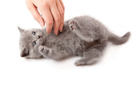 Human's hand is playing with kitten