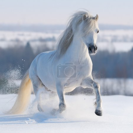 Photo pour Poney gallois gris galopant sur la colline de neige - image libre de droit