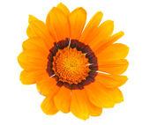 Gazánie květina izolované