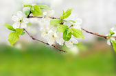 White spring flowers on a tree branch over green