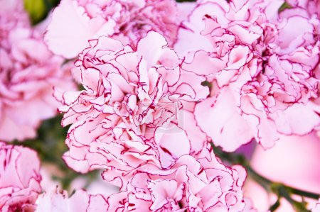 Close-up of colourful pink flowers. Background