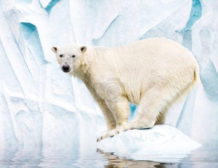 White polar bear against snow mountain