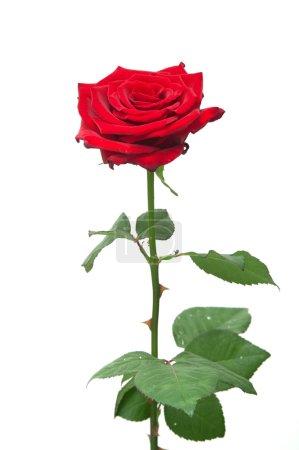 Photo pour Une rose rouge sur blanc - image libre de droit
