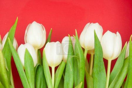 Photo pour Tulipes blancs sur rouge - image libre de droit
