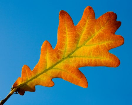 Photo for Single oak leaf on blue sky - Royalty Free Image