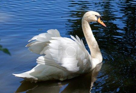 Beautiful swan on black background