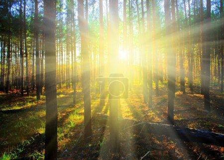 Photo pour Coucher de soleil dans la forêt de sapin de scotch, automne - image libre de droit