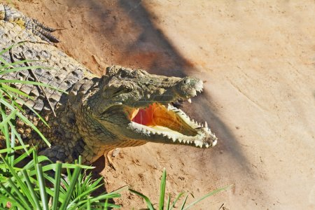 Happy crocodile after feeding