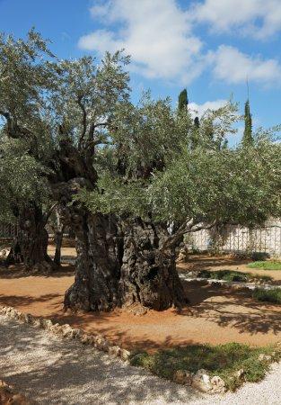 Photo pour La grande ville de Jérusalem. jardin de gethsemane.thousand-année oliviers - image libre de droit