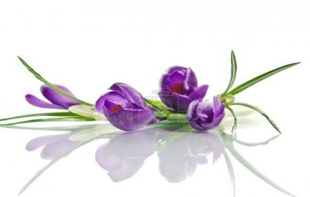 Photo pour Beau crocus violet isolé sur blanc - image libre de droit