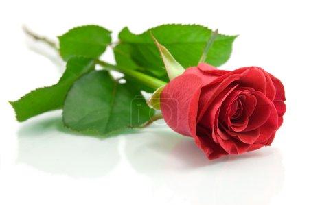Photo pour Rose rouge sur le blanc - image libre de droit