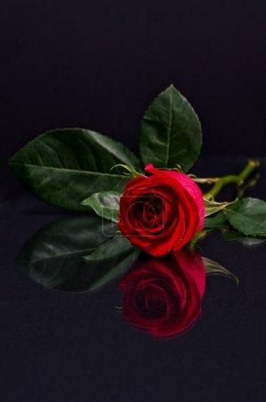 Photo pour Rose rouge - image libre de droit
