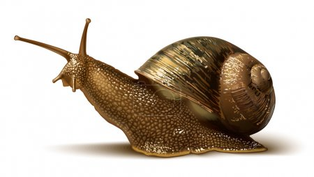 Illustration for Vector illustration of a big snail on the white background - Royalty Free Image