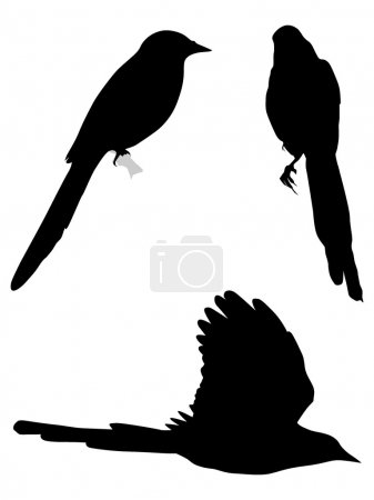 Set of silhouettes of magpies