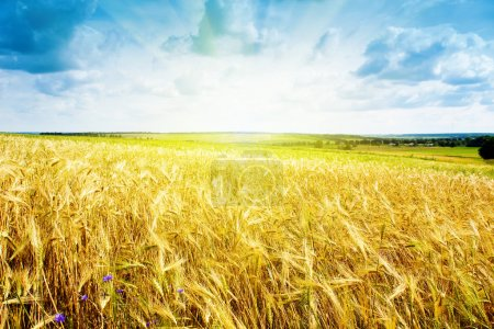 Photo for Ripe wheat landscape against blue sky - Royalty Free Image