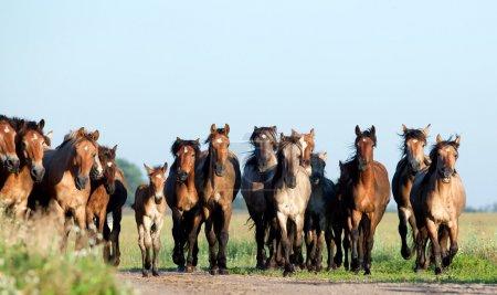 Photo pour Des chevaux sauvages de Biélorussie galopent dans les champs en été . - image libre de droit
