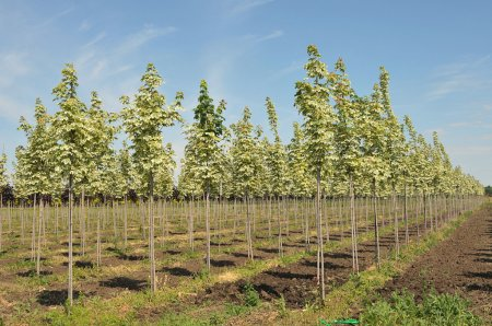 Rows of maple