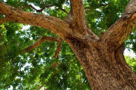 großer Baumstamm und grüne Krone