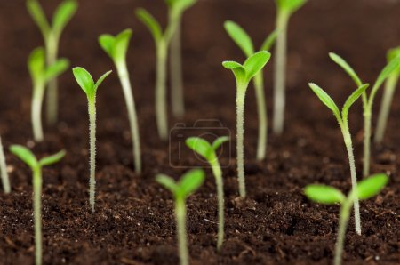 Photo for Close-up of green seedling growing out of soil - Royalty Free Image