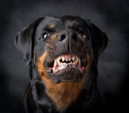 Rottweiler the girl of 6 years on a black backgrou...