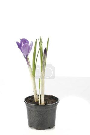 Photo pour Violet belle fleur printanière de crocus en pot isolé sur fond blanc - image libre de droit