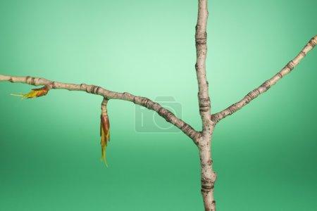 Photo pour Nouveau bourgeon sur une branche d'arbre - image libre de droit