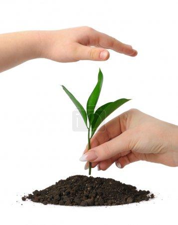 Photo pour Mettre une plante dans les tas de terre et un enfants de main de main couvrant. Isolé sur fond blanc - image libre de droit