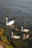 Mute swan family (Cygnus olor) with young swans and ducks