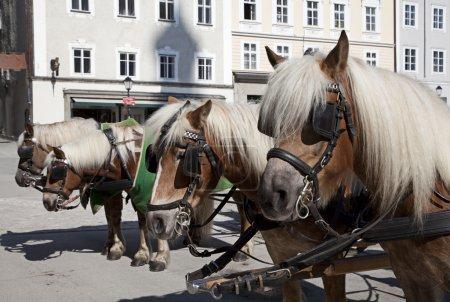 Carriage horses. Salzburg, Austria