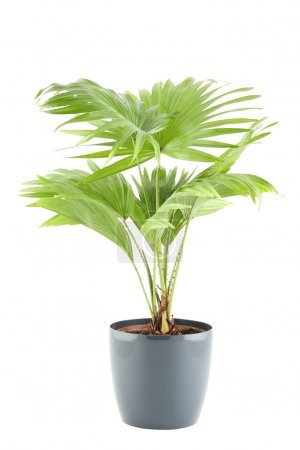 Photo for Close-up of the plant in a pot. Livistona. Isolated on white background - Royalty Free Image