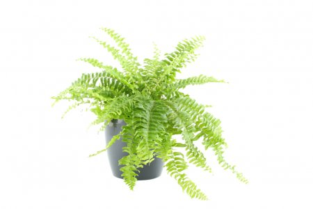 Photo for Close-up of Nephrolepis in a pot. Isolated on white background - Royalty Free Image