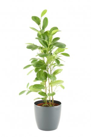 Photo for Close-up of a ficus in flowerpot. Plant in a pot. Isolated on white background - Royalty Free Image