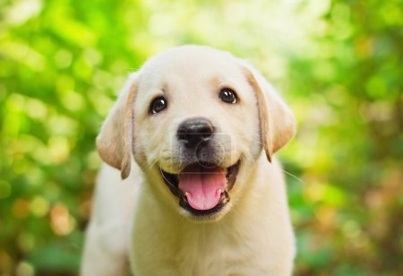 Photo for Yellow lab puppy in the yard (shallow dof) - Royalty Free Image
