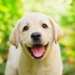 Yellow lab puppy in the yard (shallow dof)...
