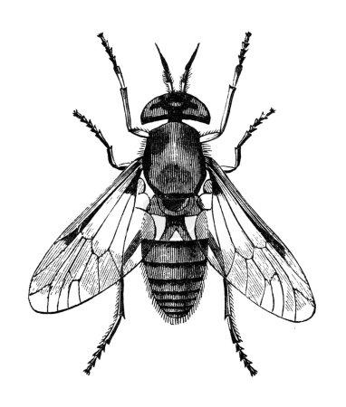 Gadfly vintage illustration