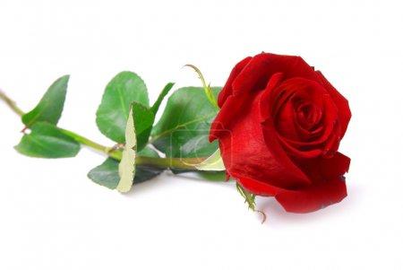 Photo pour Rose belle rouge isolé sur fond blanc - image libre de droit