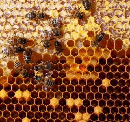 Photo pour Peigne de miel et une abeille de travail - image libre de droit