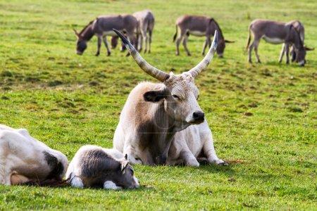 Photo pour Beaux taureaux gris hongrois dans le domaine - image libre de droit