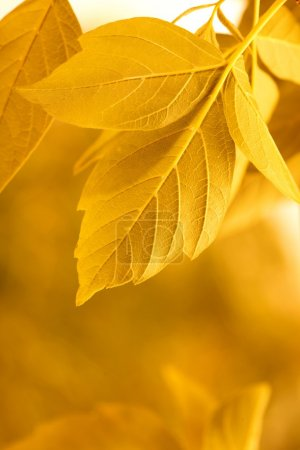 Photo for Yellow leaves - Royalty Free Image