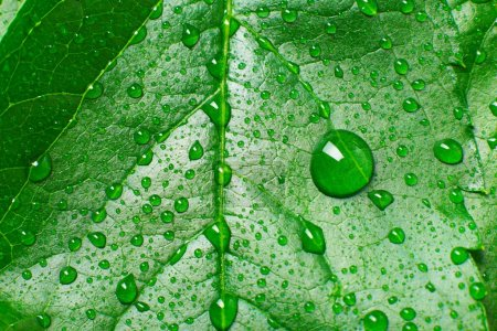 Photo for Leaf and drop - Royalty Free Image