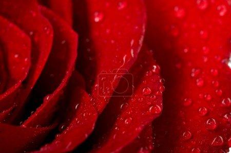 Photo pour Macro image de rose rouge foncé avec des gouttelettes d'eau. Extrême gros plan  . - image libre de droit