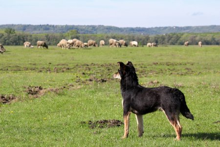 Sheepdog with herd of sheep in background