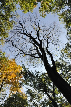 Photo pour Arbre sans feuilles à l'automne - image libre de droit