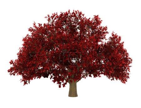 Persian ironwood tree isolated on white background