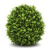 Englische Zwerg-Buchsbaum isoliert auf weißem Hintergrund